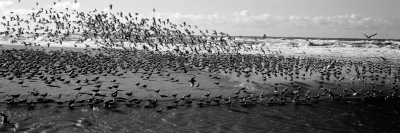 large flock of birds flying away on the beach