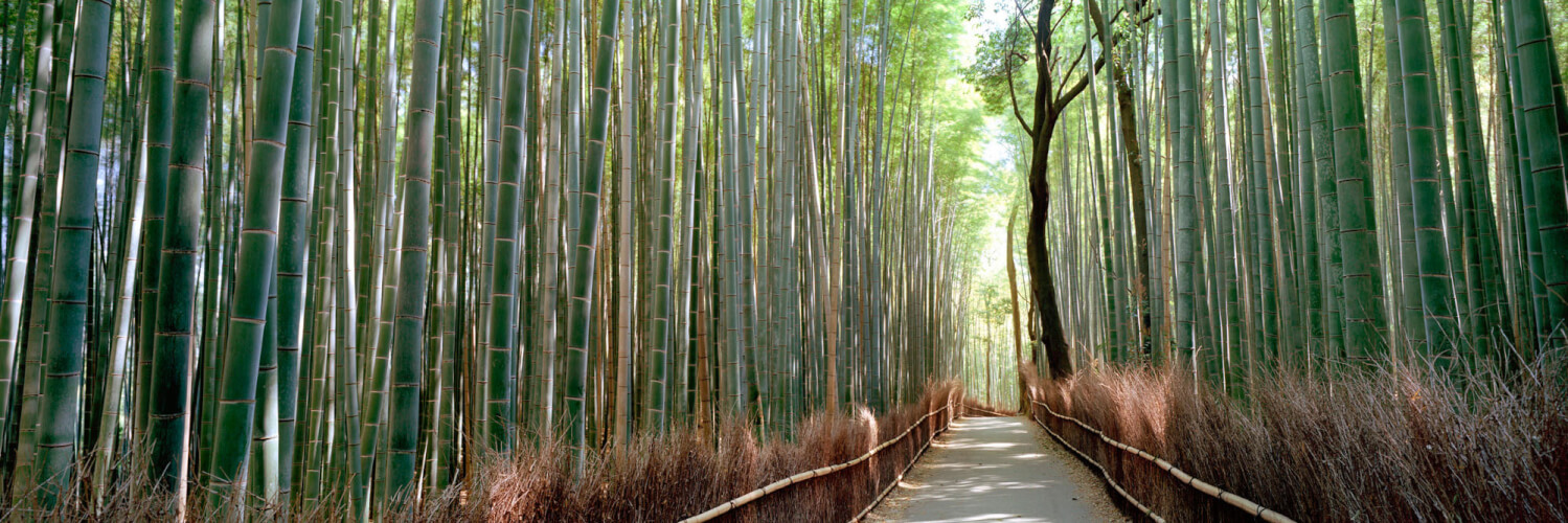 beautiful Bamboo forest in Kyoto Jaoan