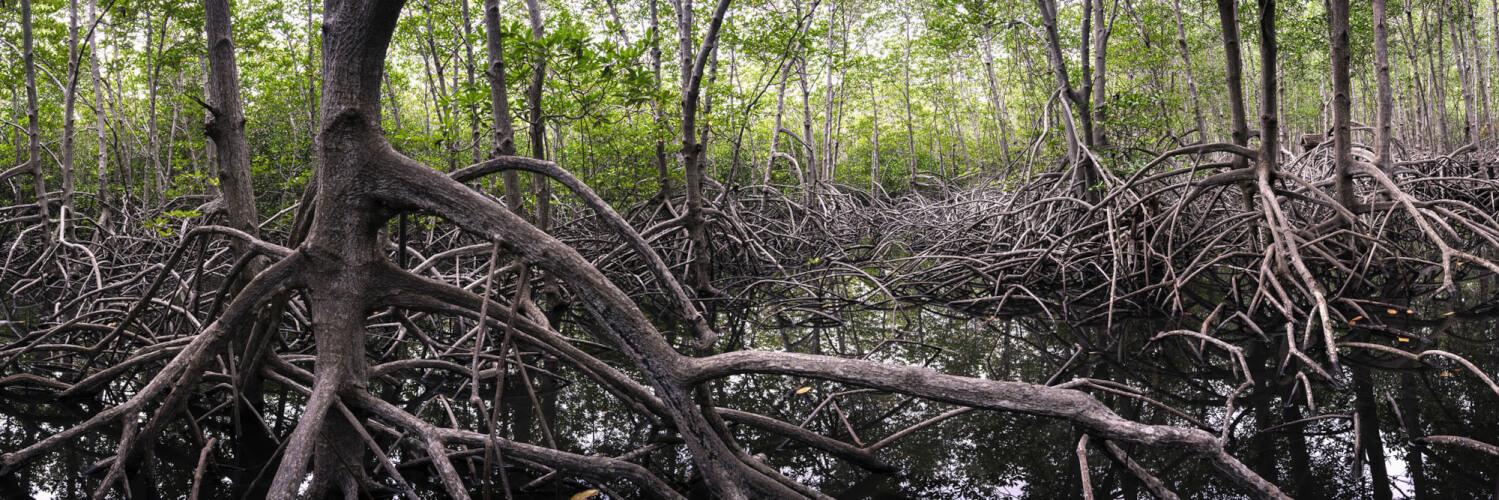 Beautiful Dense mangrove forest in thailand