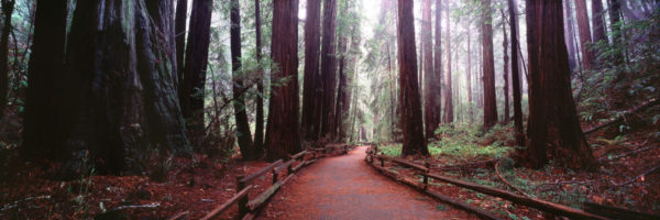 Path between the redwood forest of muir woods in california