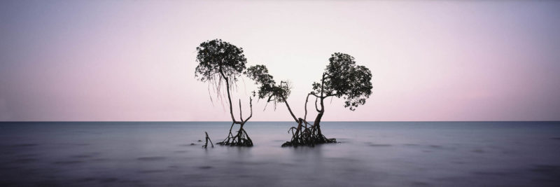 India Mangrove