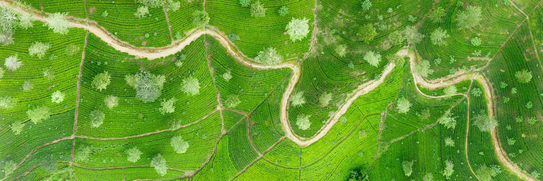 Tea plantation asia