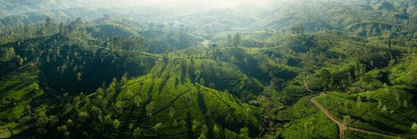DJI Drone tea field Panorama