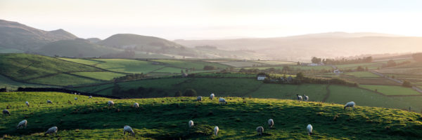 Sheep graze in Yorkshire Dales at sunset
