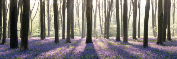 A panoramic print of bluebells in Micheldever forest