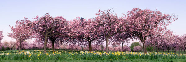Panoramic print of sakura on the stray in harrogate