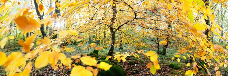 a panoramic print of a tree in fall