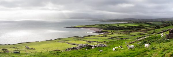 a panoramic print of a flock of sheep on the dingle peninsula