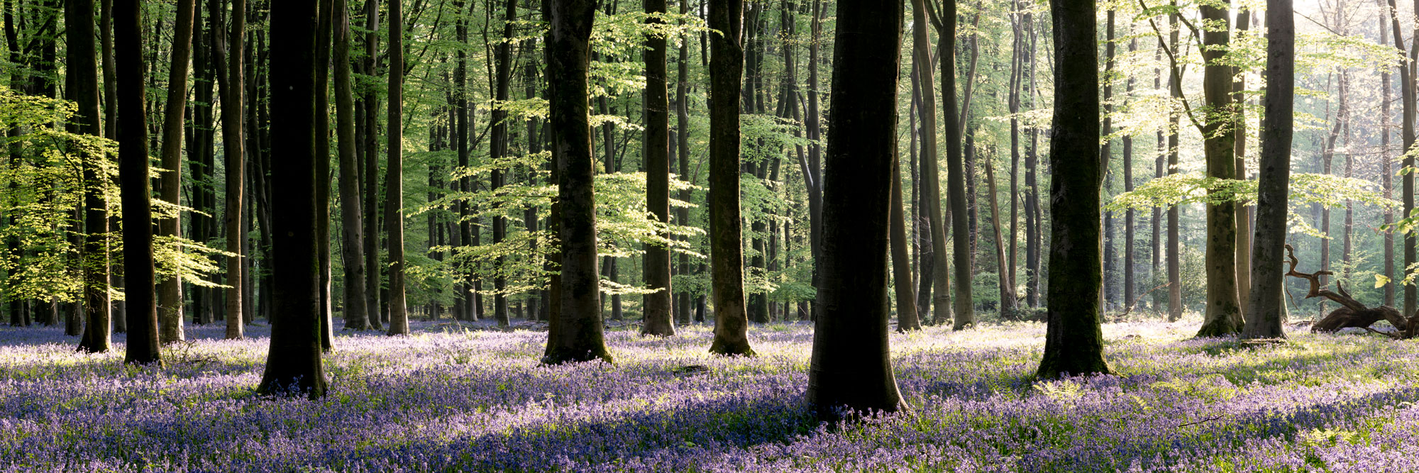 a panoramic print of bluebells in full bloom in a beach forest