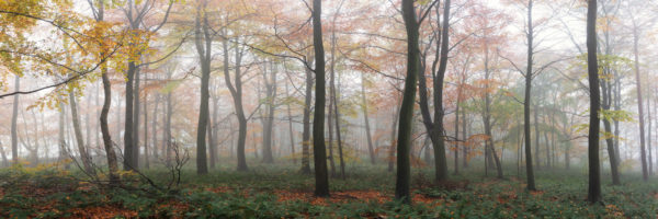 panoramic print of a misty forest in autumn