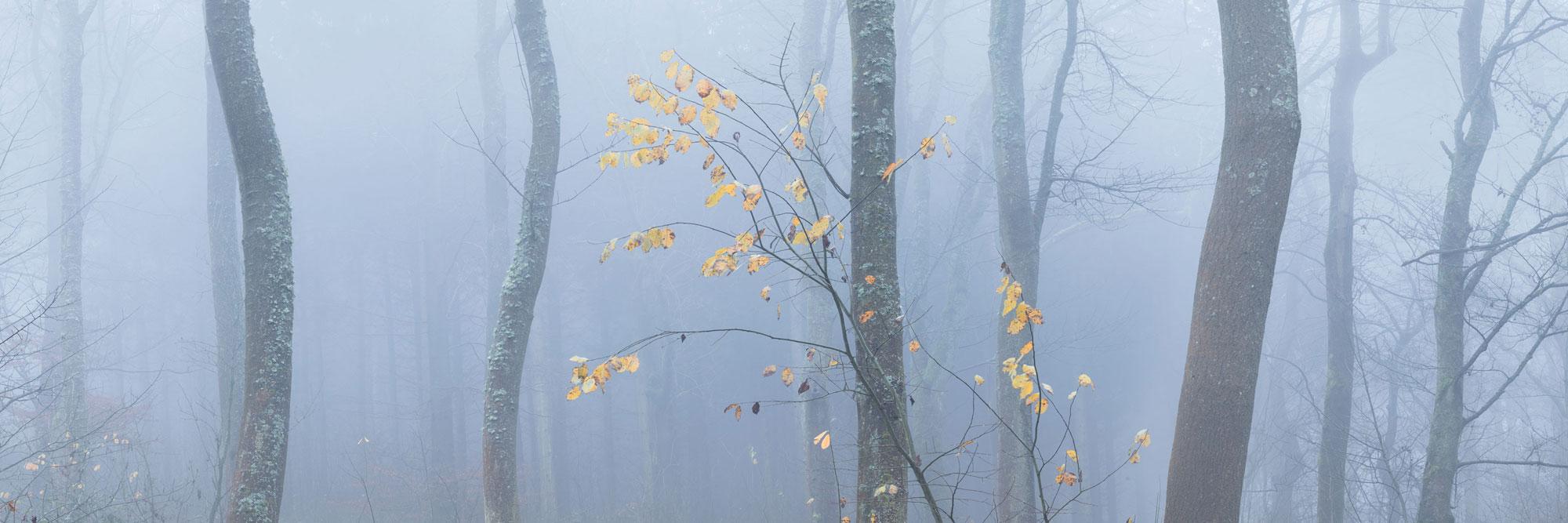panoramac print of English woodland in autumn