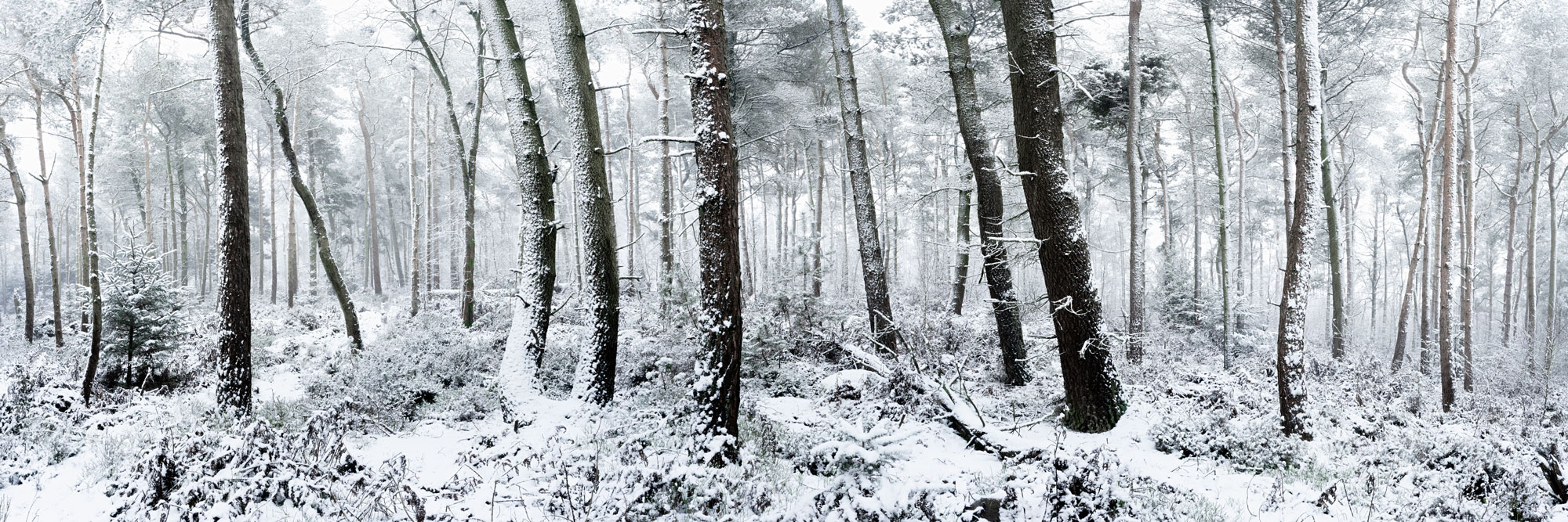 snow covered forest in winter in Yorkshire