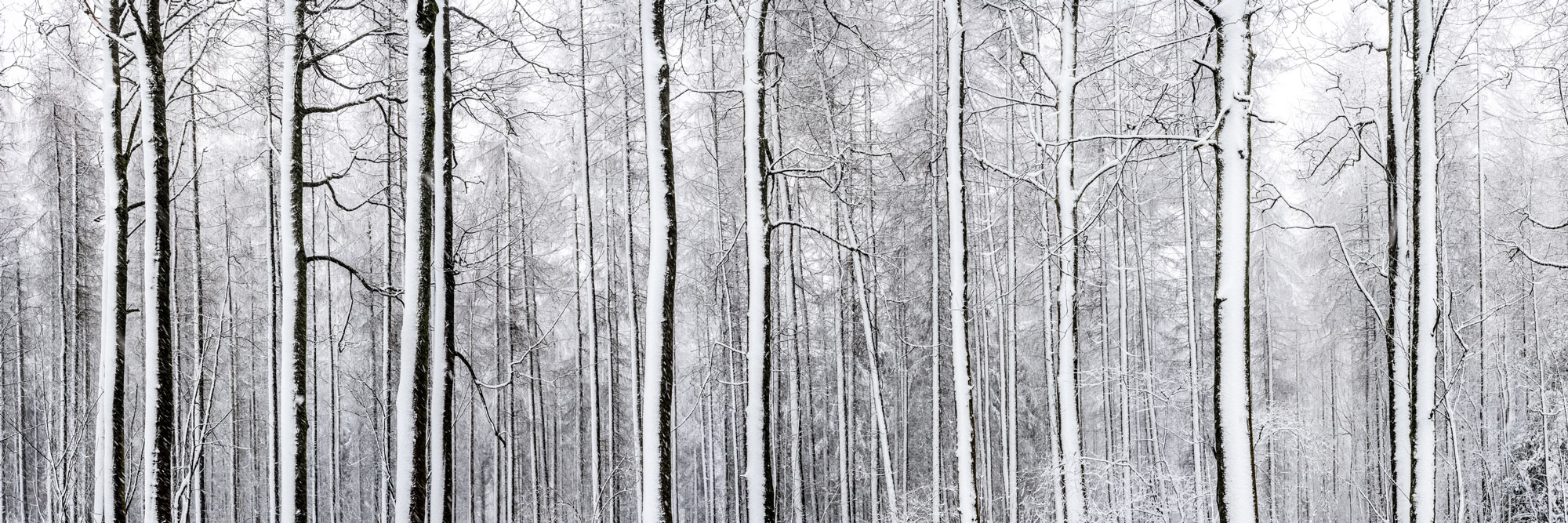 woodland trees in winter