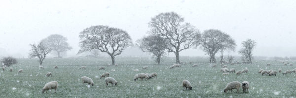 a her of sheep in winter in England