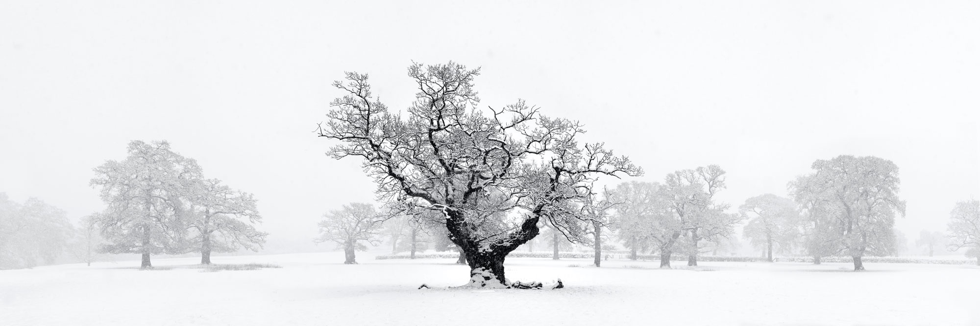 black and white print of an oak tree in winter