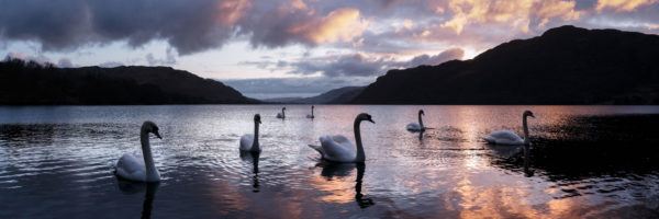 Swans swim in Ullswater lake at sunrise