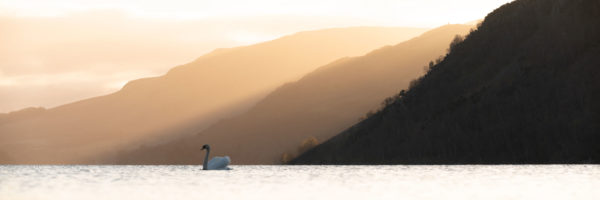 Swan on a lake in the Lake District at sunrise