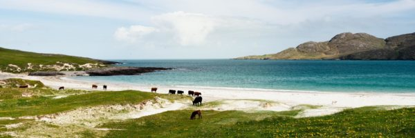 a herd of cows wander along a scottish beach