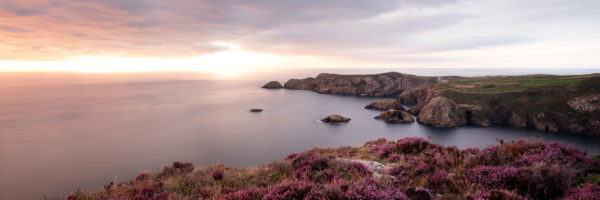 heather in the summer on the Pembrokeshire coast