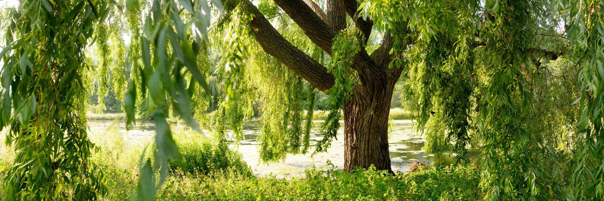 A squirrel runs down a weeping willow tree in st James's park London
